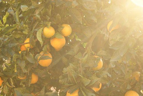 Orange_tree_by_zitiinha-d34k2nl