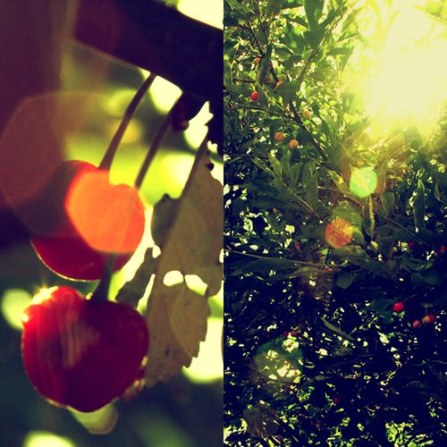 Cherry_Tree_by_kissthewake